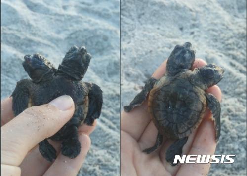 美플로리다 해안서 '두 머리 거북이' 발견 화제