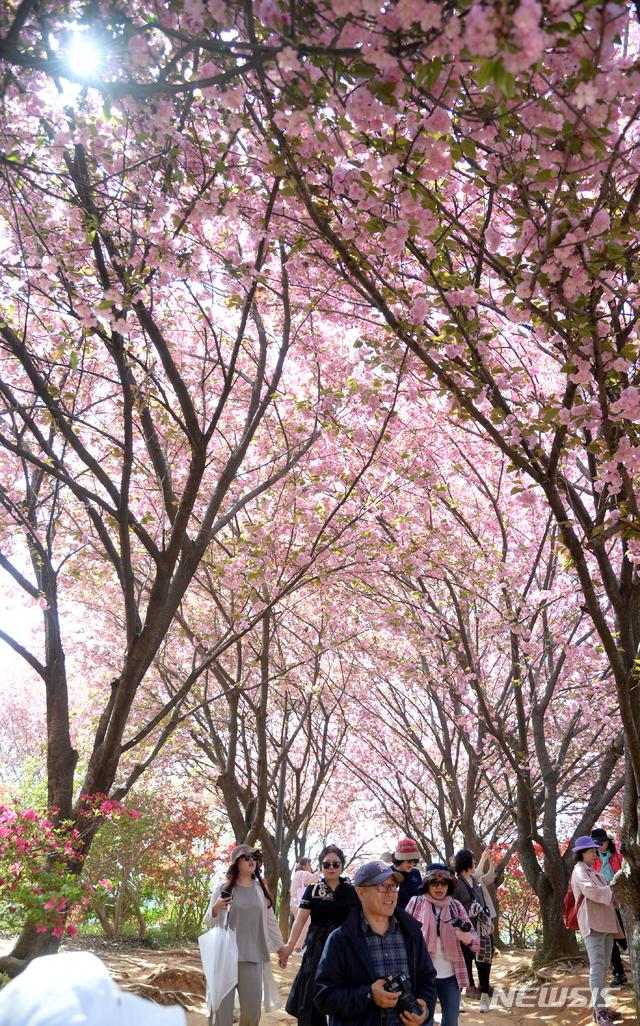 겹벚꽃 만개한 전주 완산공원 꽃동산